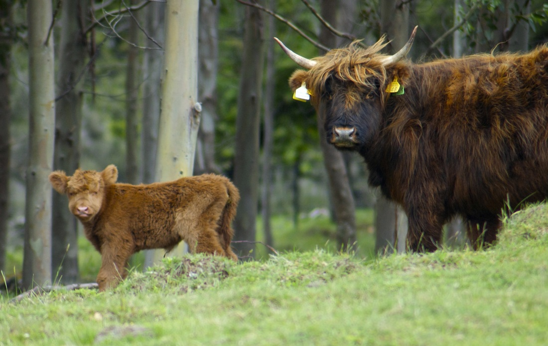 Highland heifer calf born at Muntanui on 25 Nov 2013