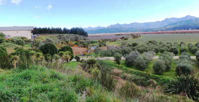 Looking over the native plantings and rows of vines at Seresin Estate, South Island, New Zealand
