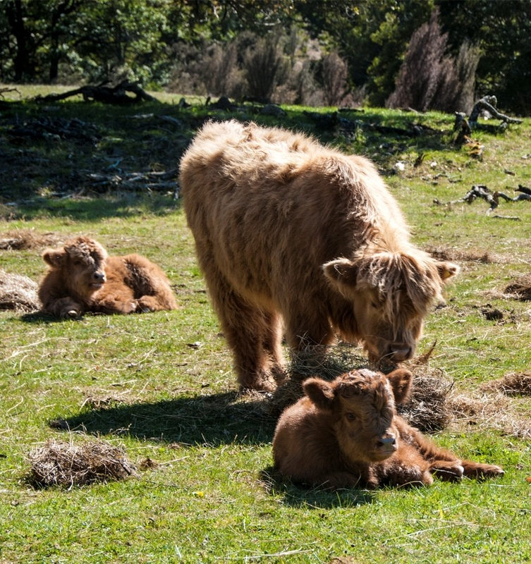 Three Highland calves