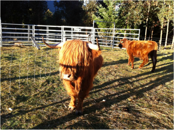 Highland bull in cattle yards at Muntanui, South Island, New Zealand