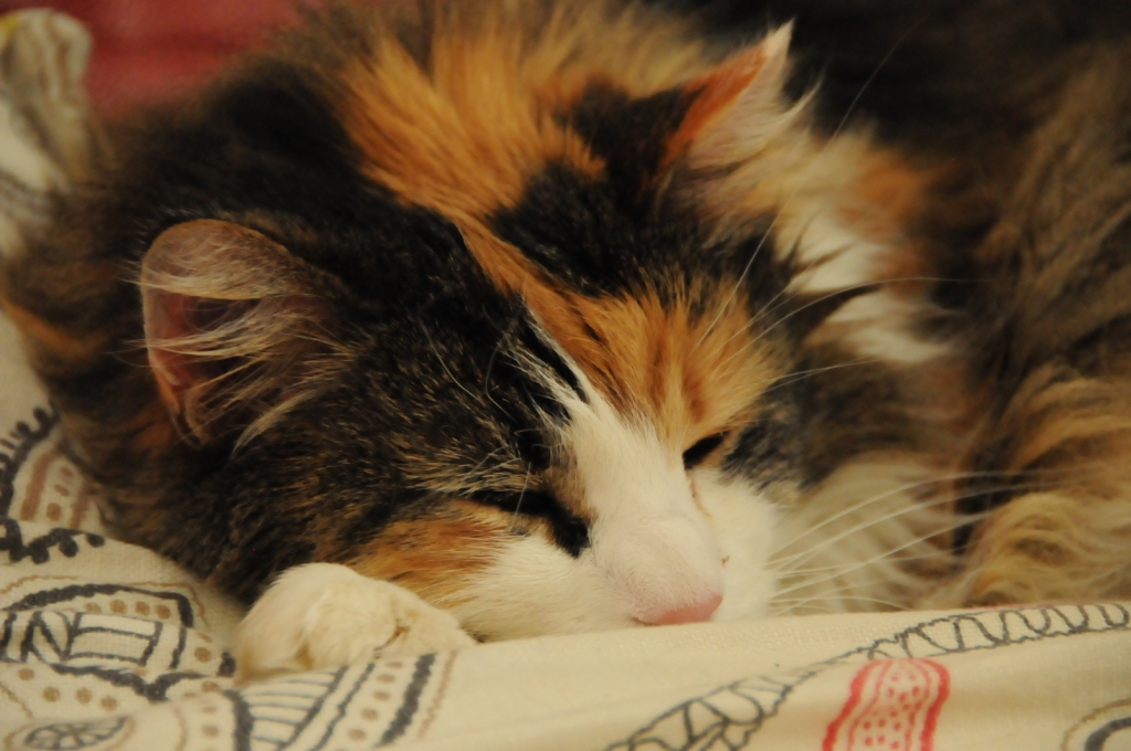 Sleeping fluffy tortoishell cat