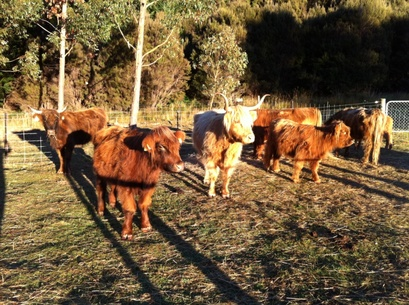 Highland cattle in yards before TB testing at Muntanui, South Island, New Zealand